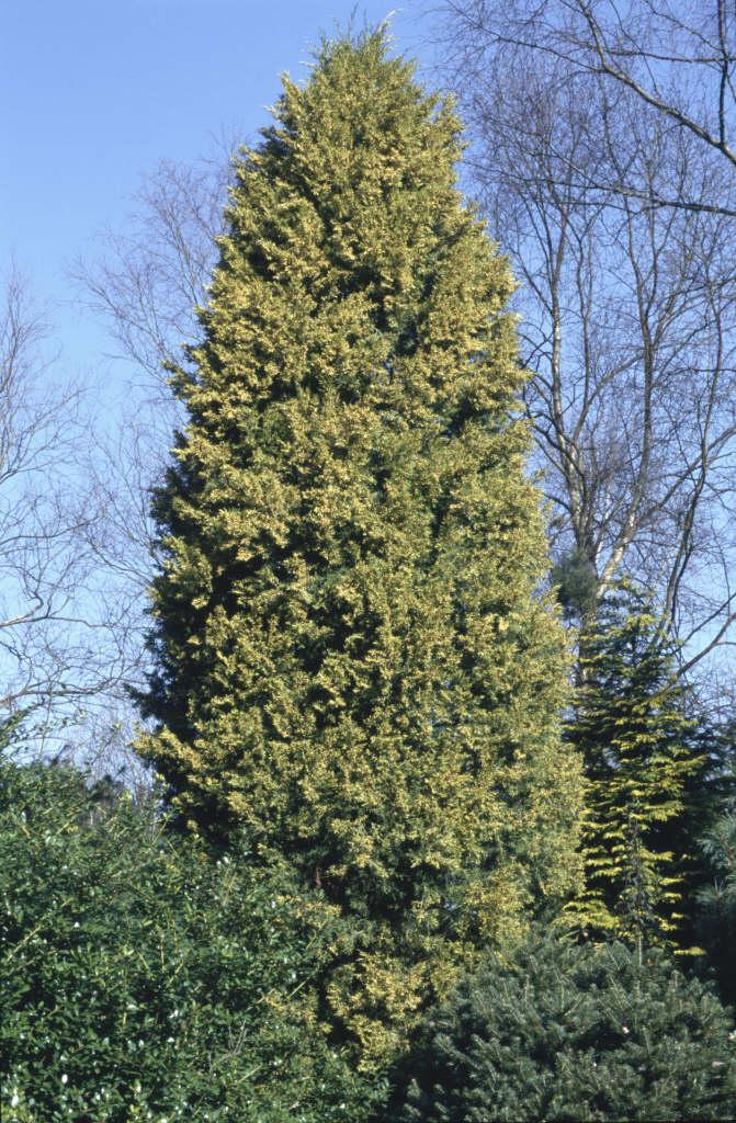 golden Chinese juniper