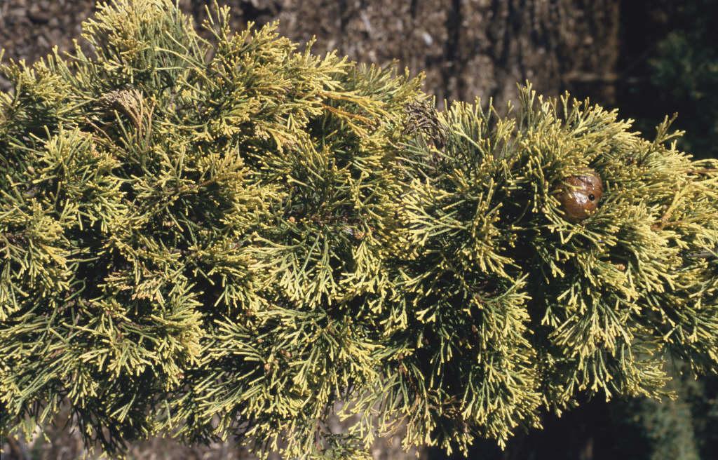Italian cypress 'Swane's Gold'