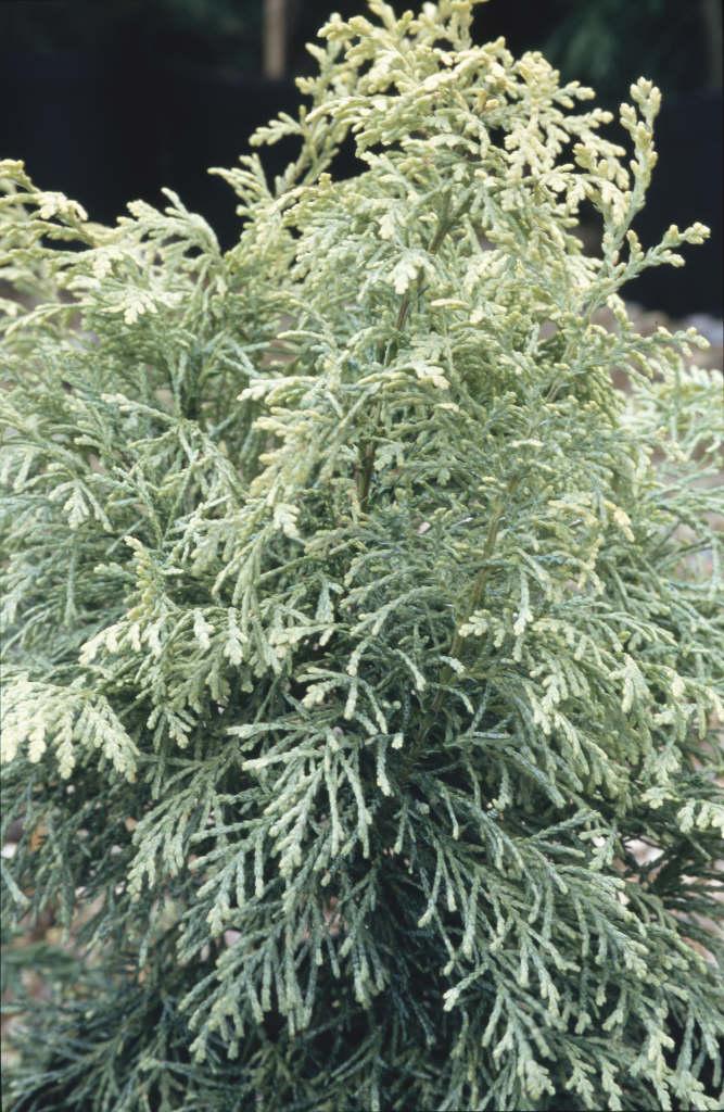 Lawson's cypress 'Summer Snow'