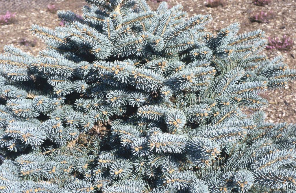 Colorado spruce 'Globosa'