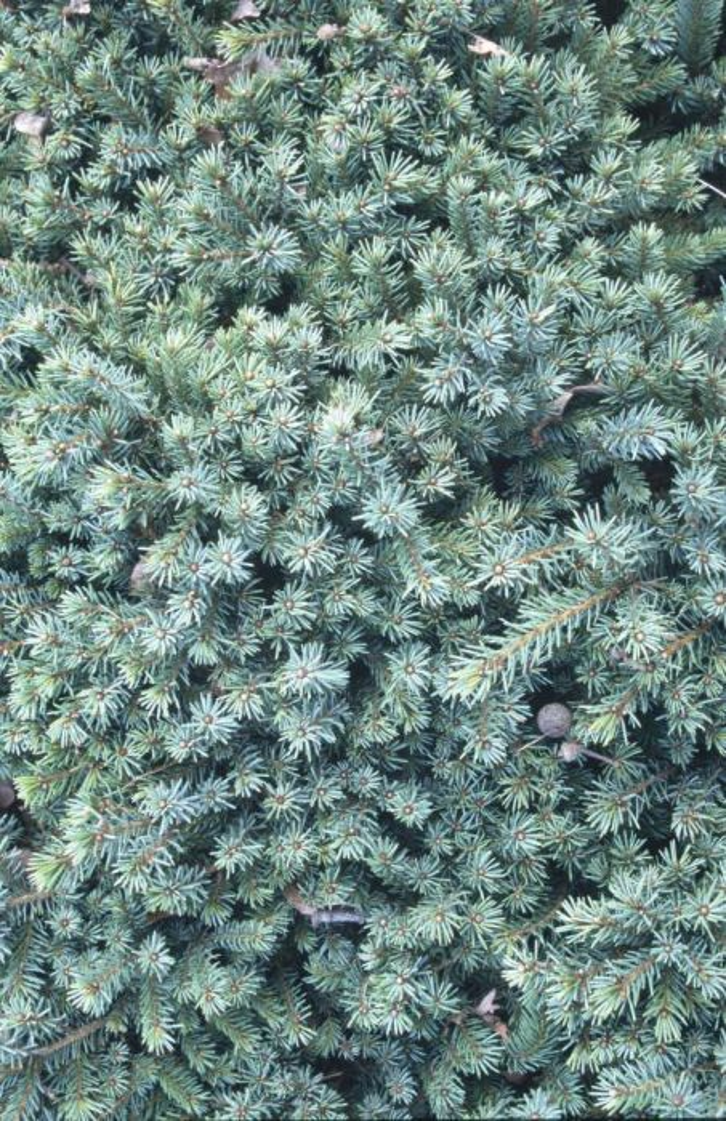 white spruce 'Echiniformis'