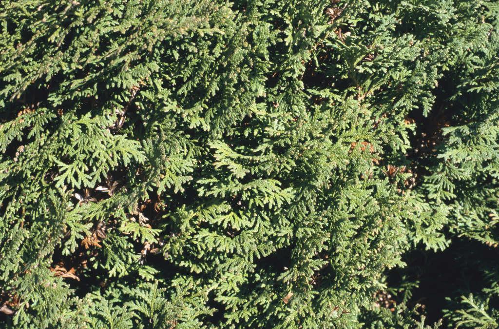 white cedar 'Smaragd'