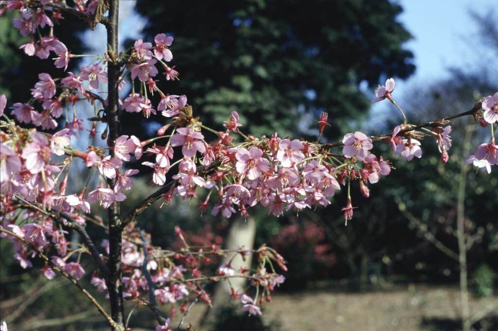 <i>Prunus</i> 'Kursar'