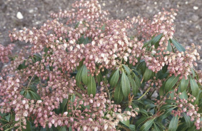 pieris 'Blush'