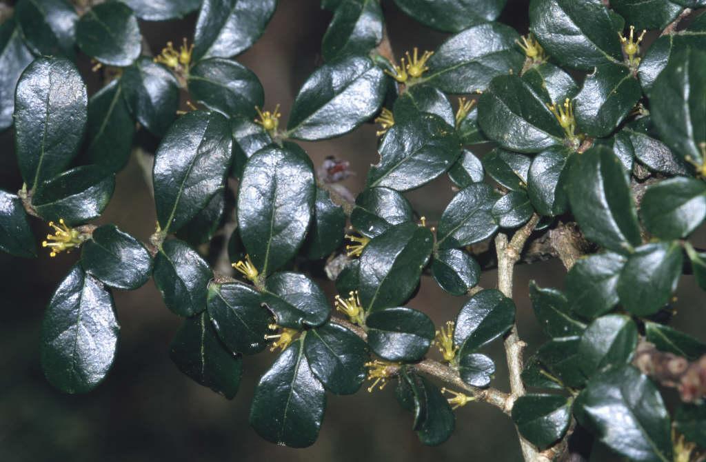 box-leaf azara