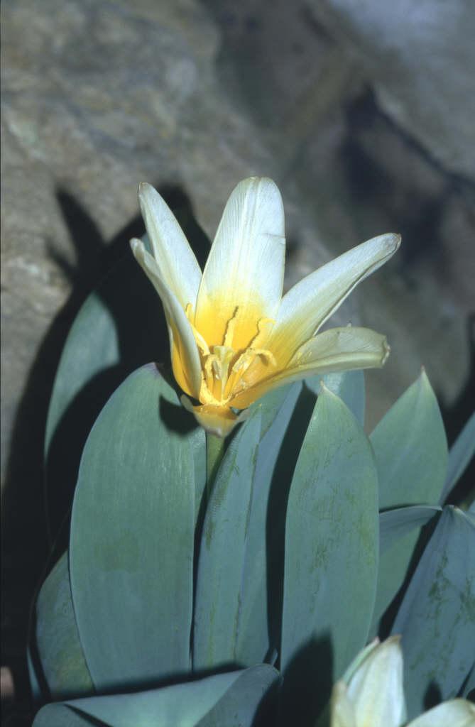 Kolpakowsky's tulip