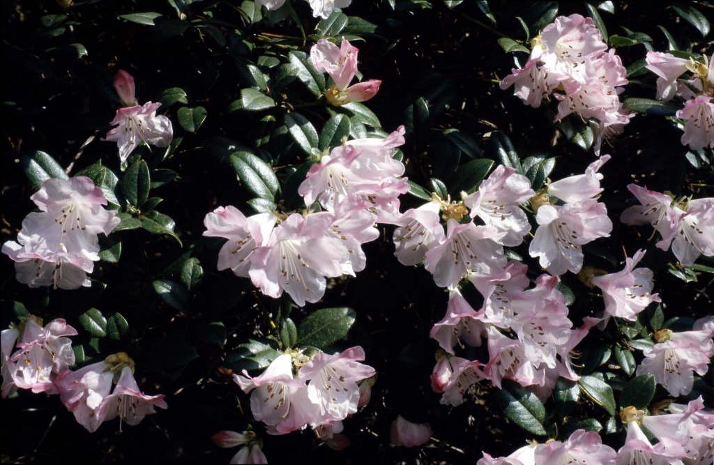 rhododendron 'Cilpinense'