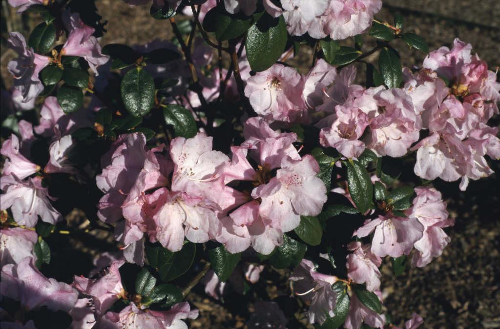 rhododendron 'Tessa Roza'