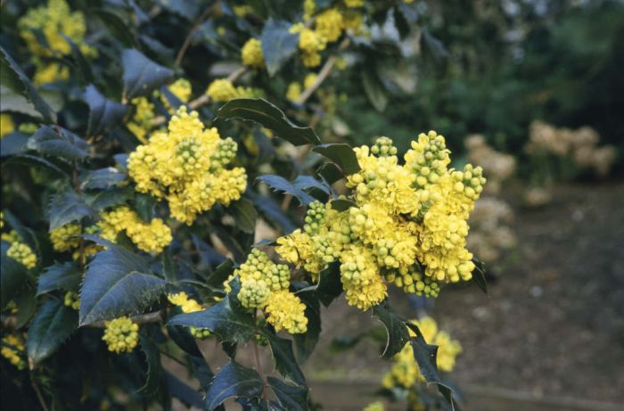 Oregon grape 'Pinnacle'