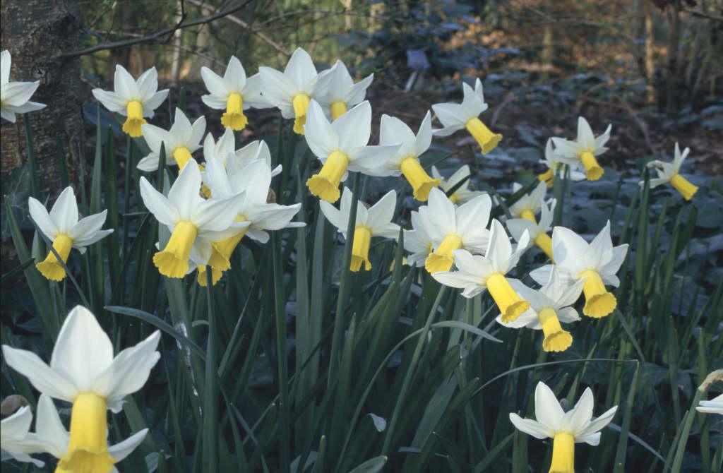daffodil 'Trena'