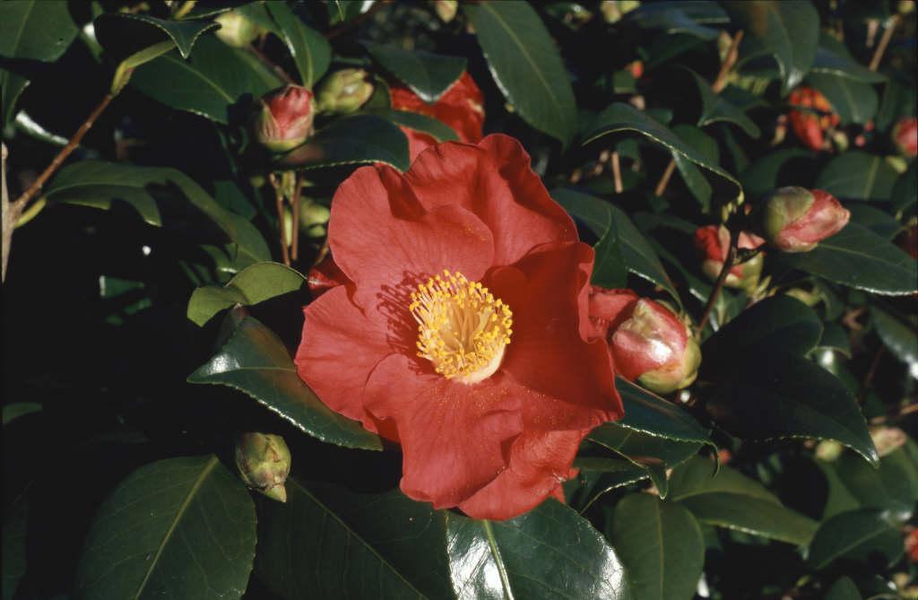 camellia 'Sylva'