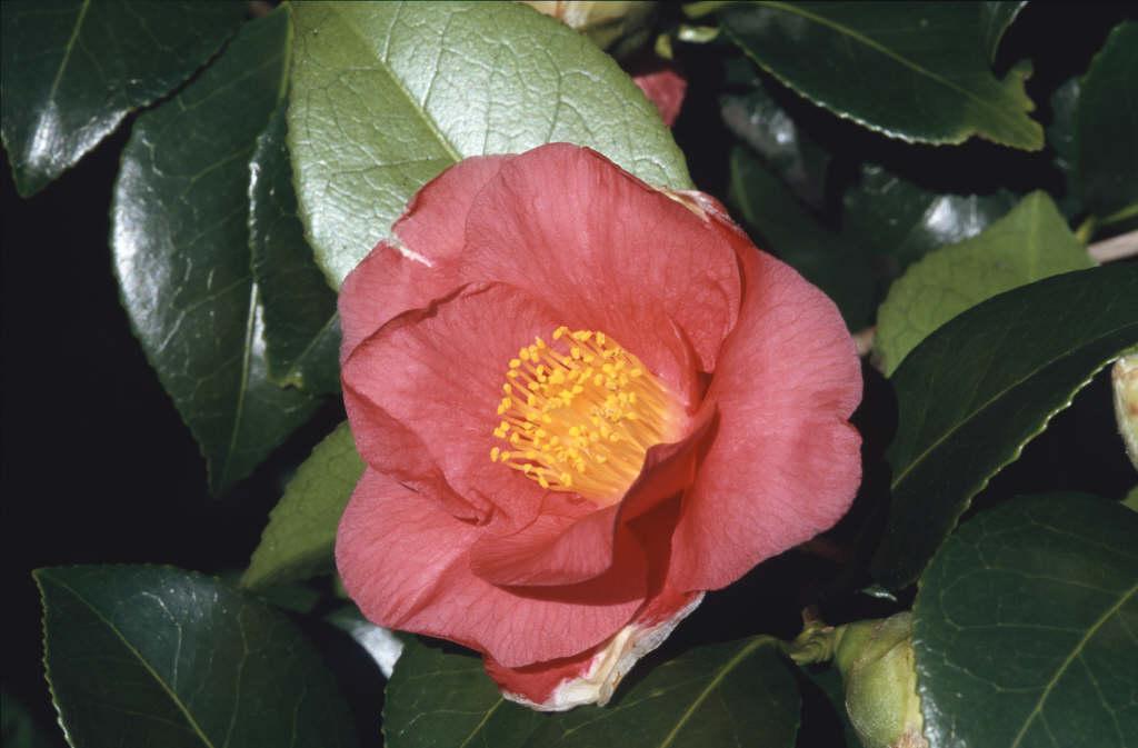camellia 'Jupiter'