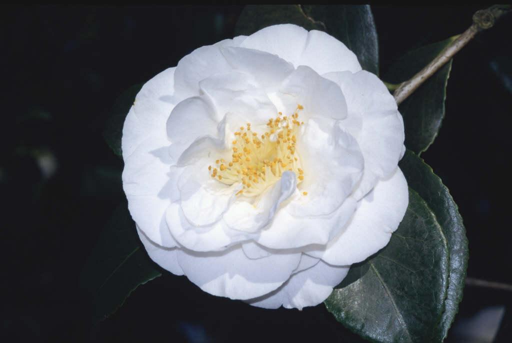 camellia 'Hakurakuten'