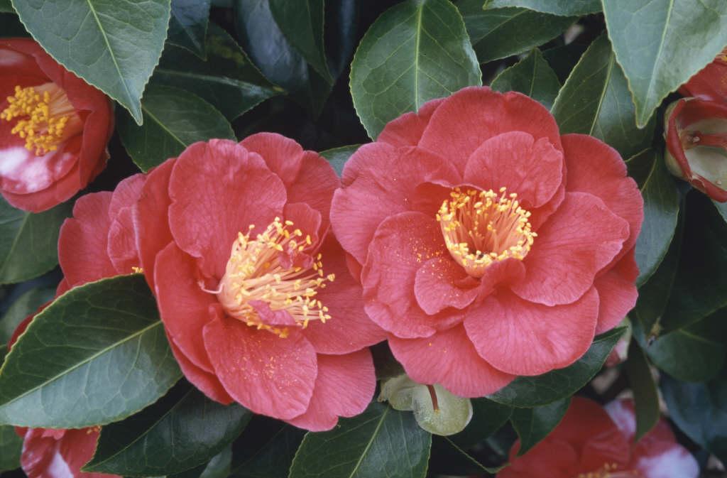 camellia 'Alexander Hunter'