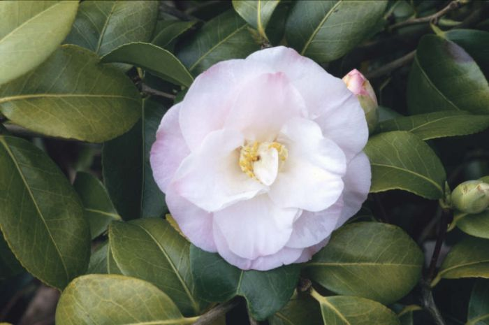 camellia 'Doctor Tinsley'