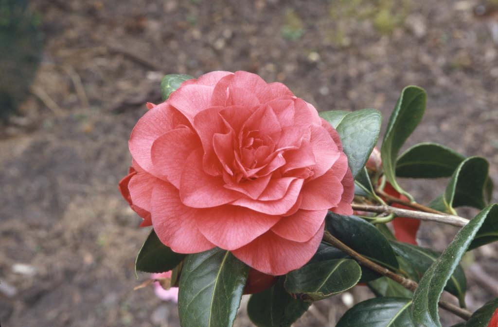 camellia 'Les Jury'