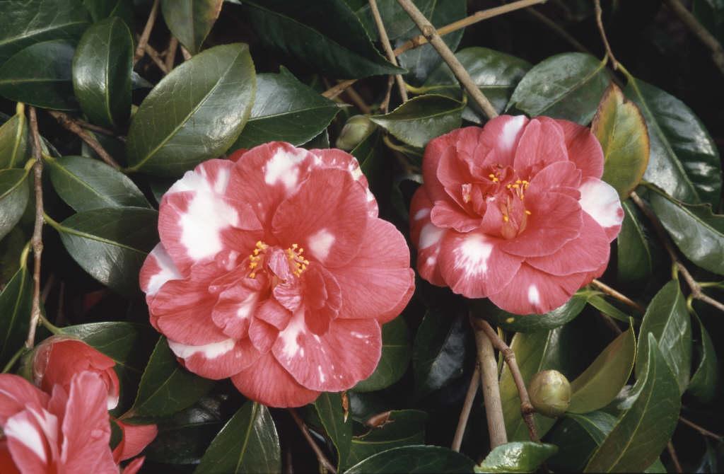 camellia 'Masayoshi'