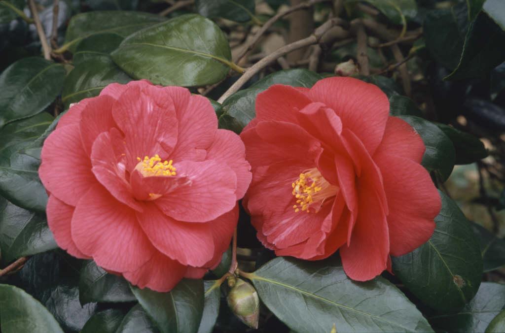camellia 'Mars'