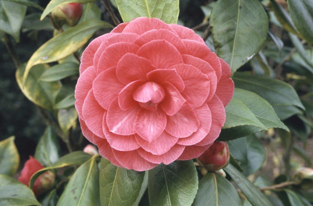 camellia 'C.M. Hovey'