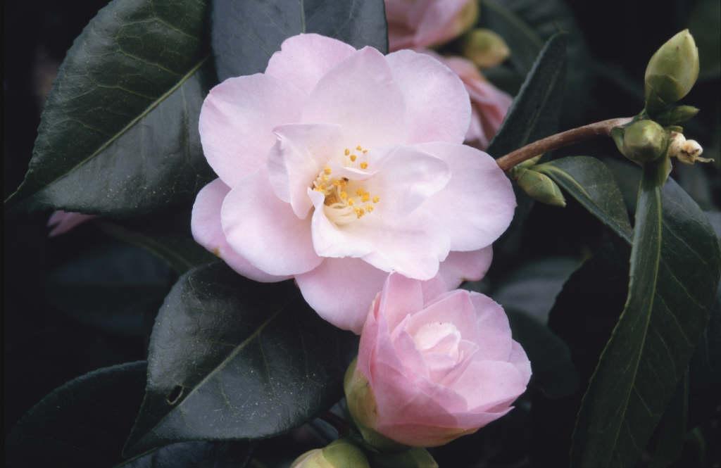 camellia 'Berenice Boddy'