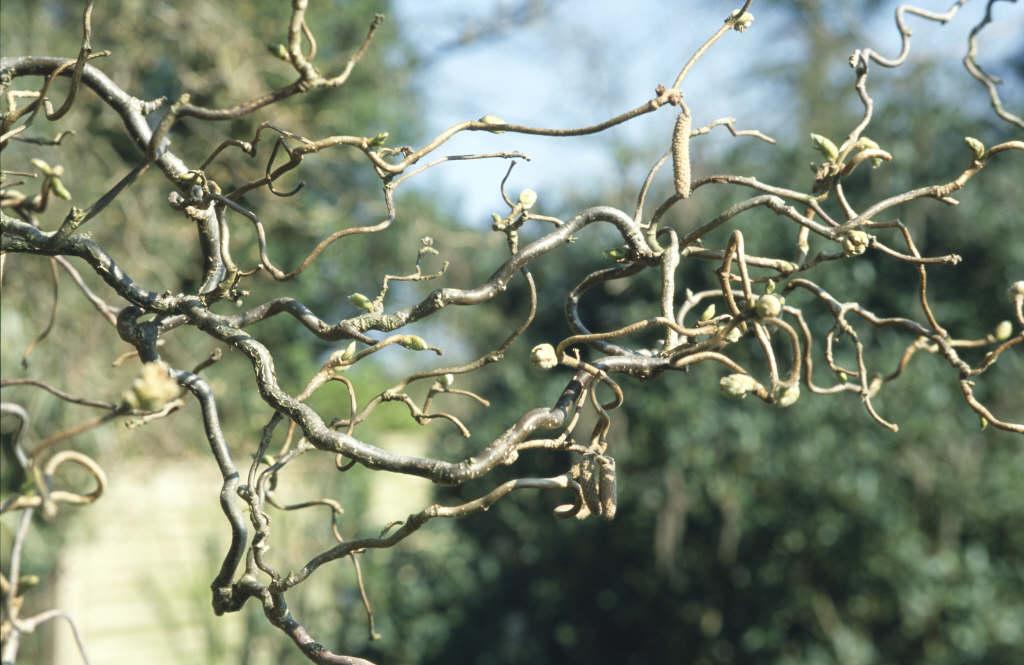 Corylus Avellana Contorta Corkscrew Hazel Rhs Gardening