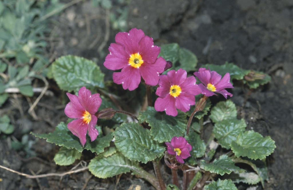 primrose 'Wanda'