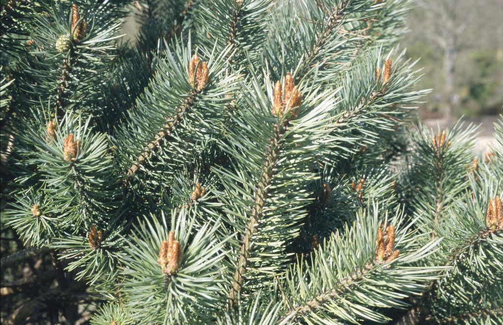 Scots pine 'Beuvronensis'