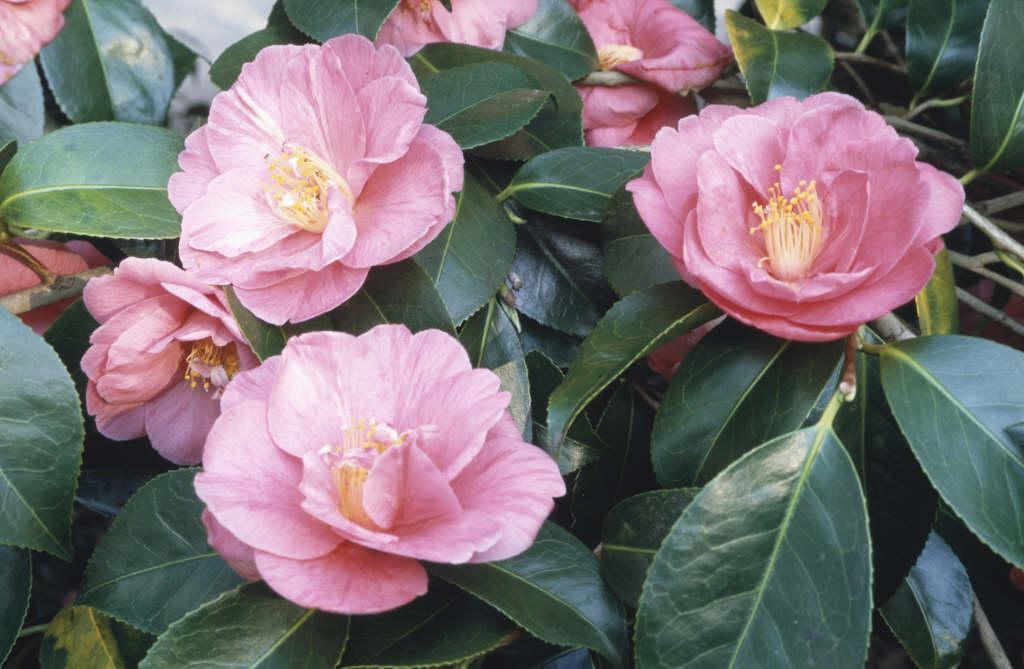camellia 'Akashigata'