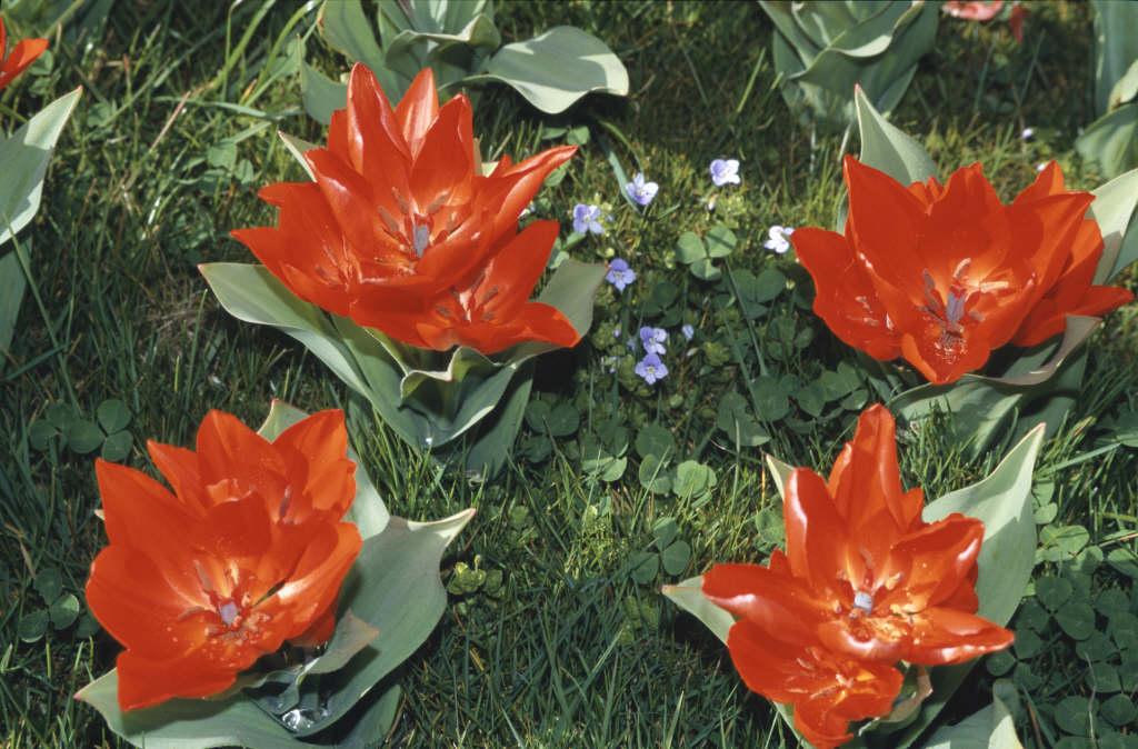 tulip 'Fusilier'