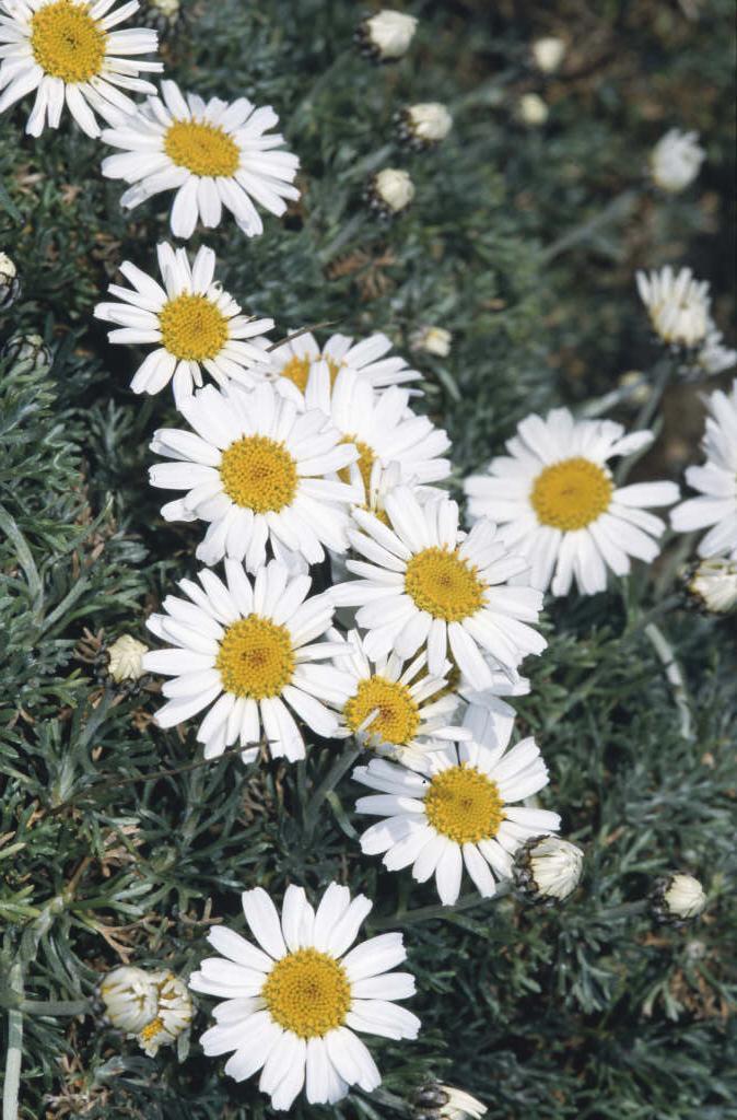 Moroccan daisy