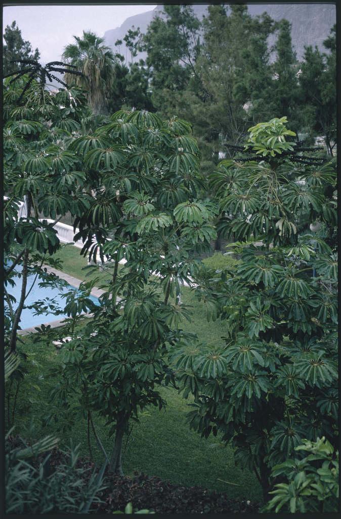 Queensland umbrella tree