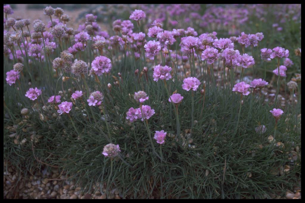 Armeria Maritima Thrift Rhs Gardening