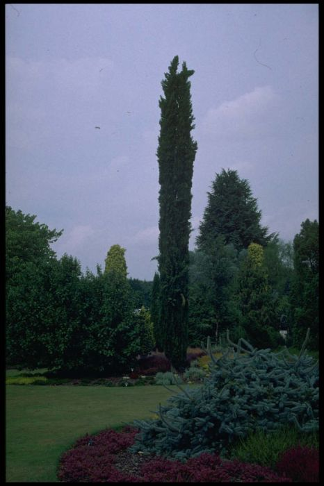 Cupressus sempervirens \'Green Pencil\' | Italian cypress \'Green ...