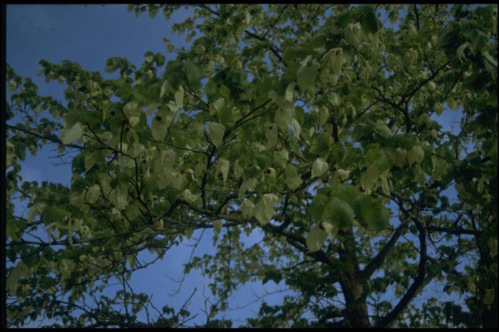 Davidia involucrata handkerchief tree rhs gardening for Small garden trees rhs