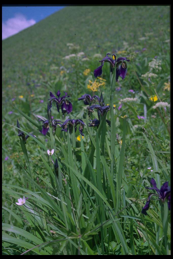 gold-marked iris