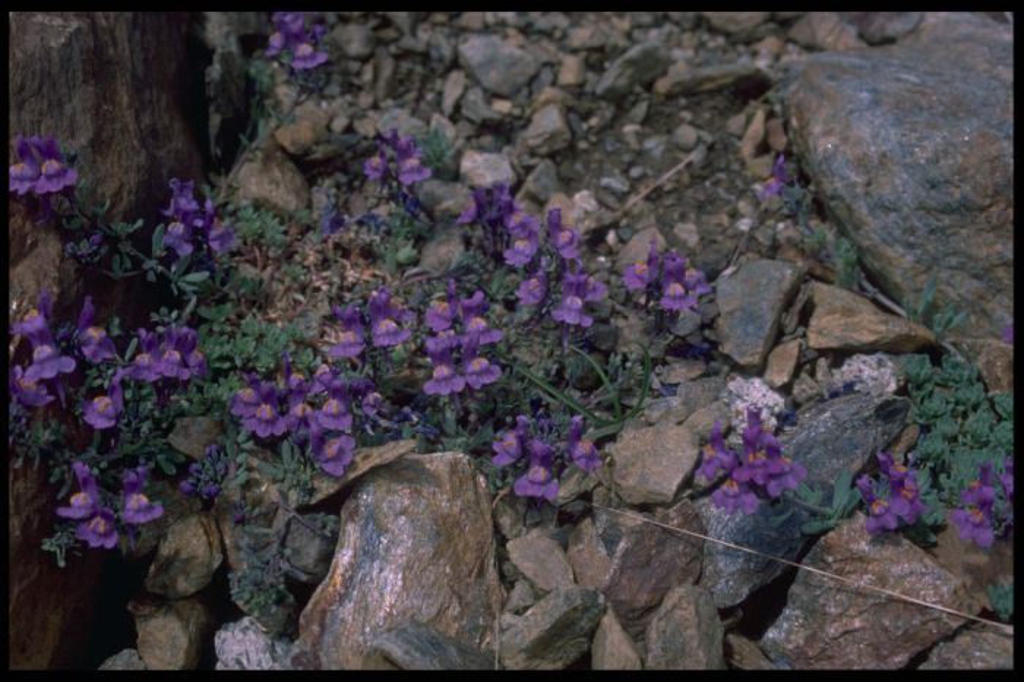 alpine toadflax