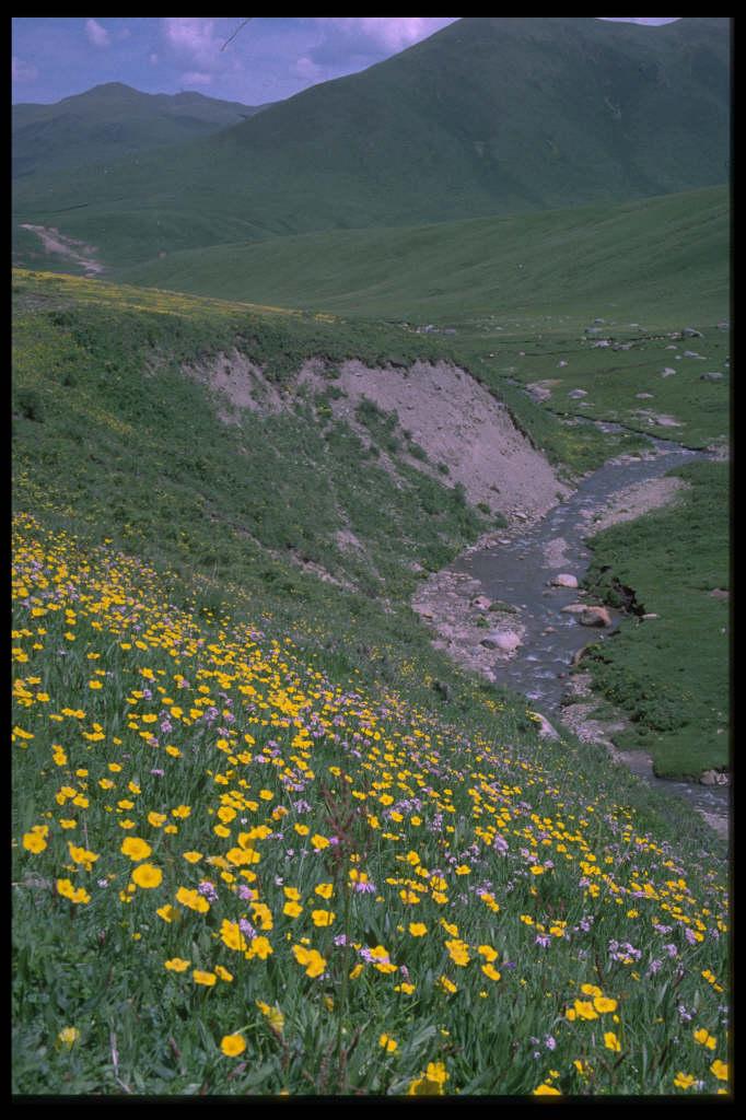 dwarf globeflower