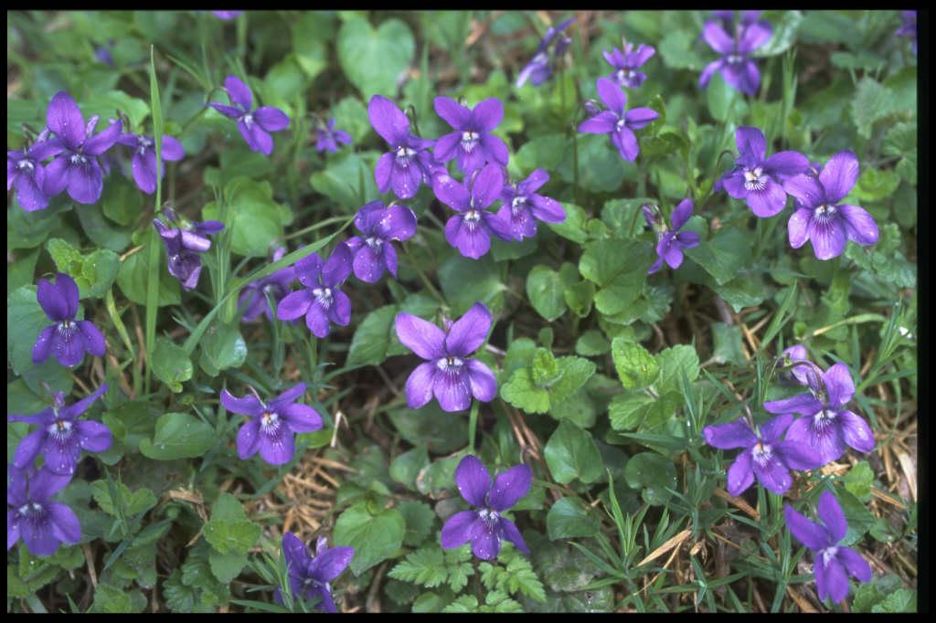 common dog violet