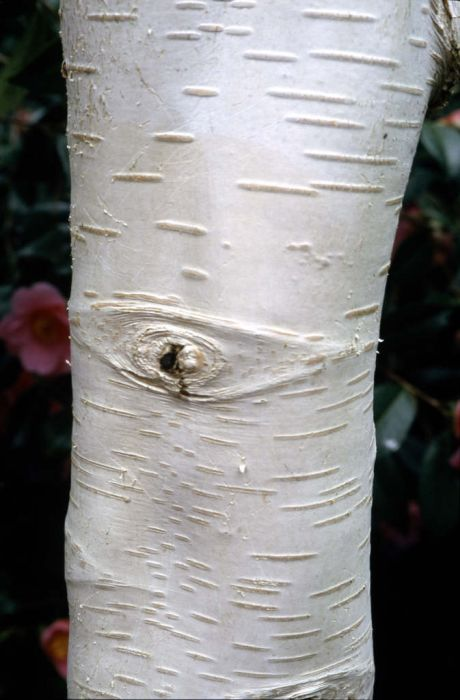 Himalayan birch 'Grayswood Ghost'