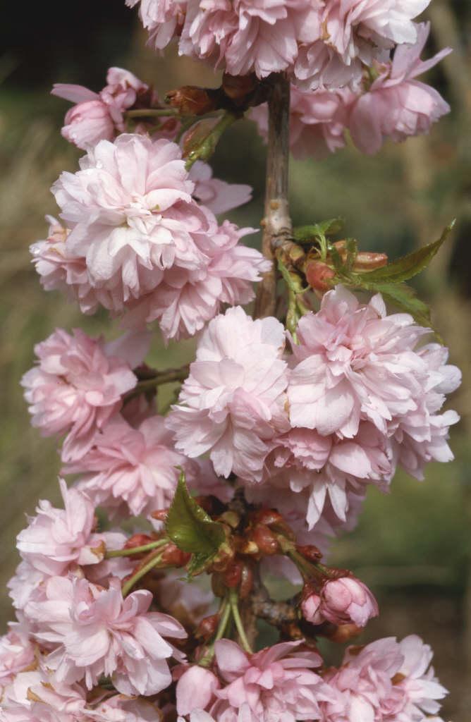 cherry 'Kiku-shidare-zakura'