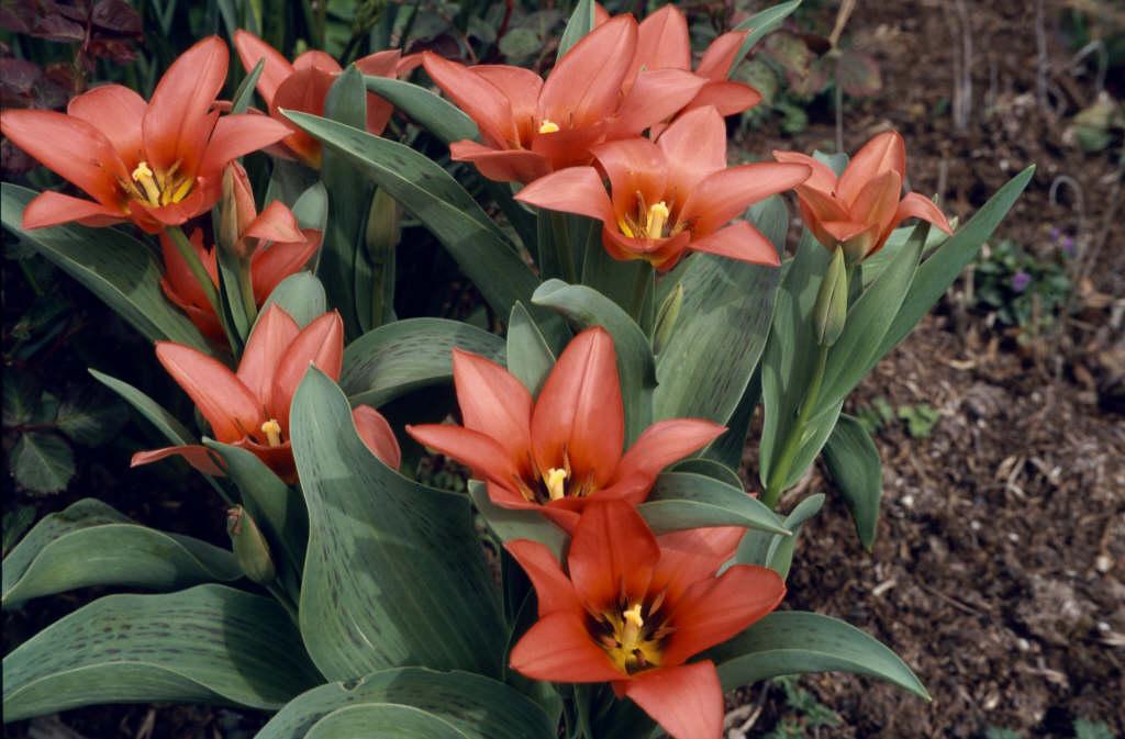 tulip 'Toronto'
