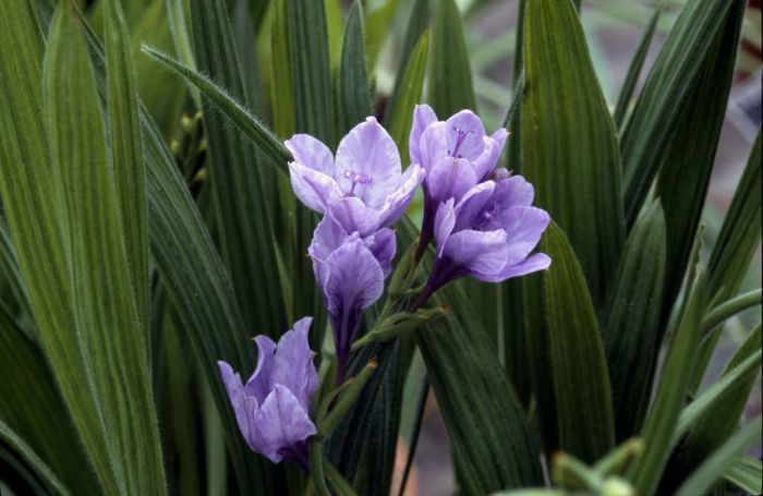 blue freesia