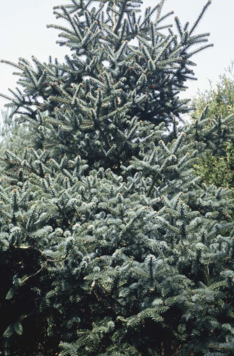 glaucous Spanish fir