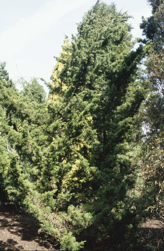 Chinese juniper 'Kaizuka'