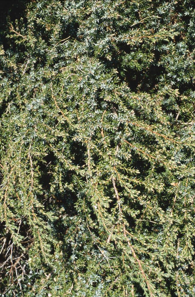 juniper 'Hornibrookii'