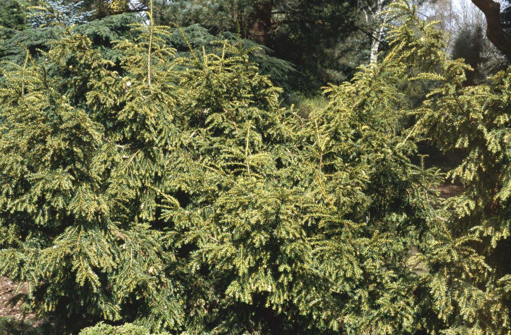 common yew 'Adpressa Variegata'
