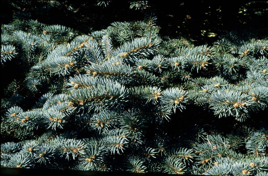 Colorado spruce 'Koster'