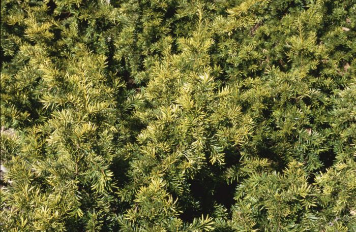 common yew 'Repens Aurea'