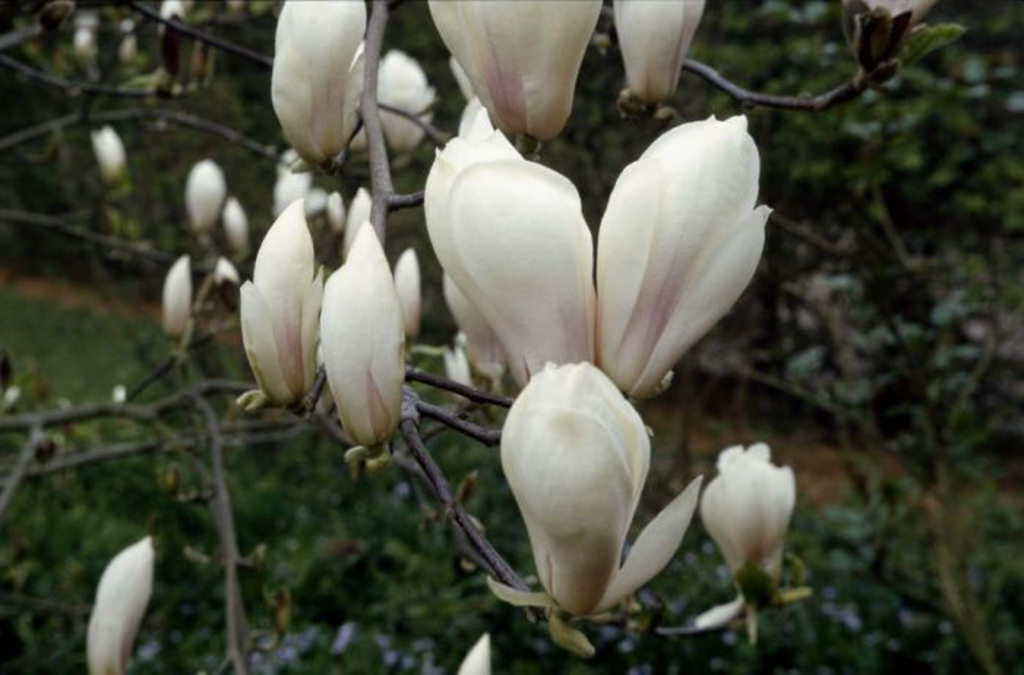 saucer magnolia 'Brozzonii'