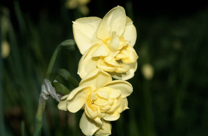 daffodil 'Yellow Cheerfulness'